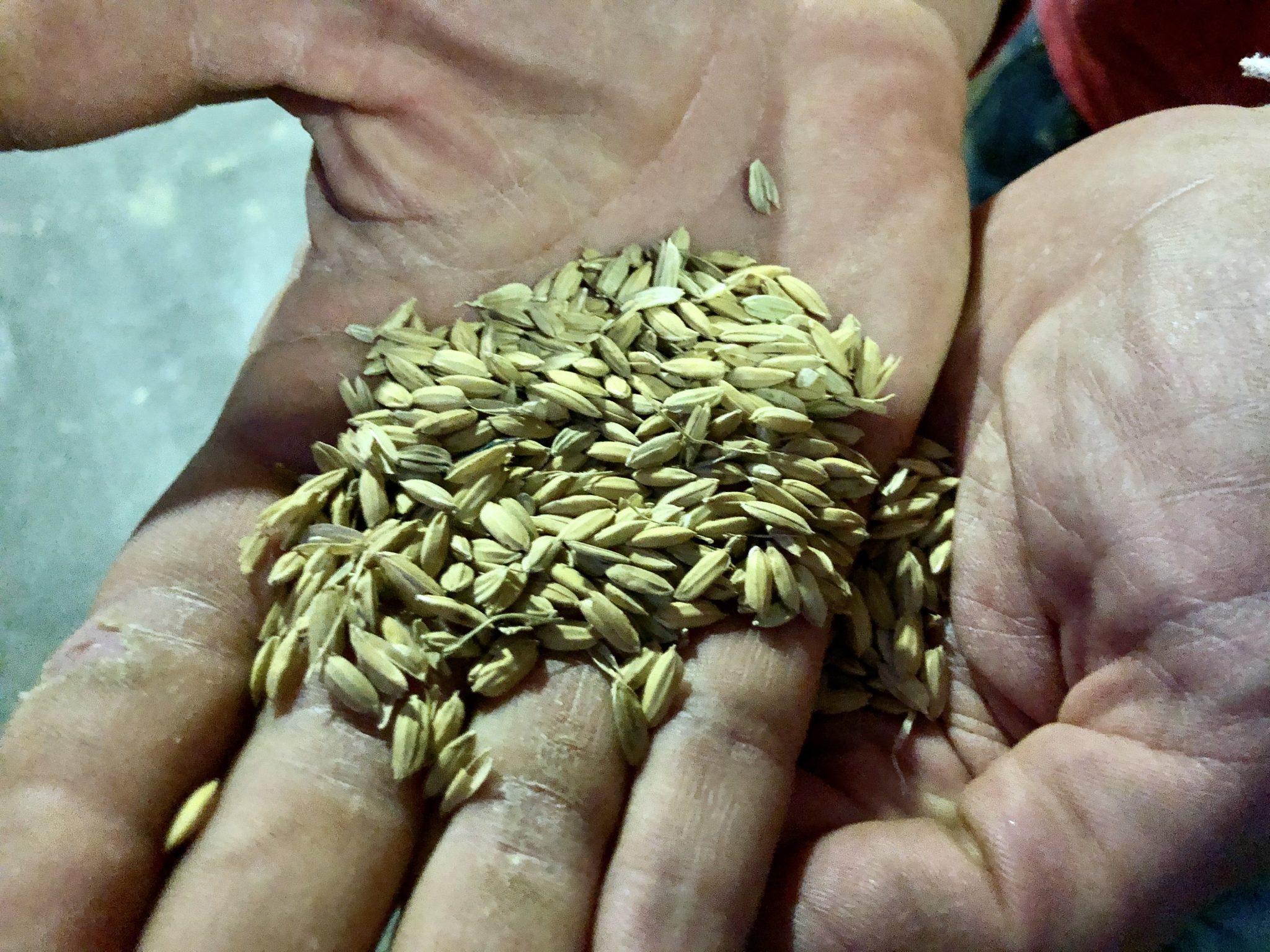 Granos de arroz con su cáscara, antes de entrar al molino
