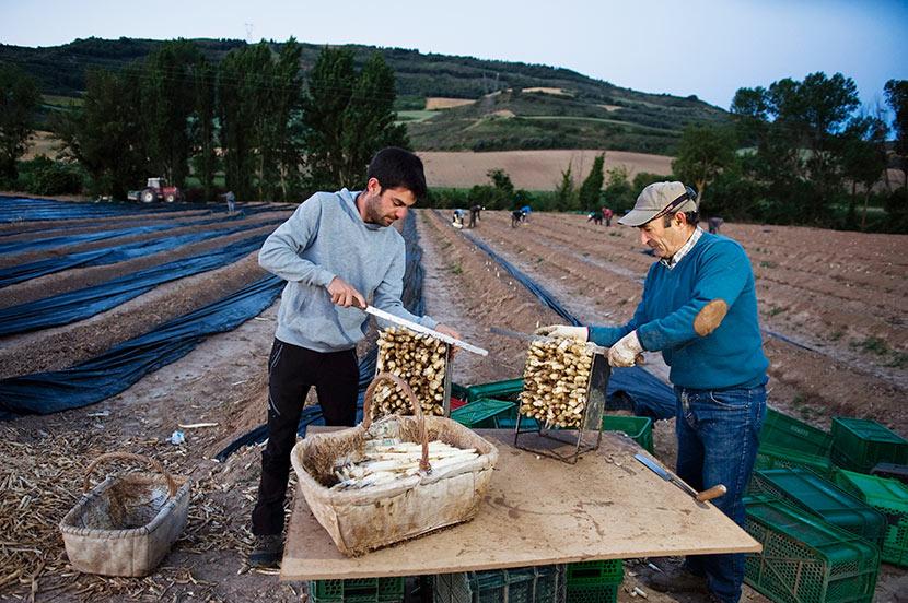 Cultivo del espárrago blanco en Navarra